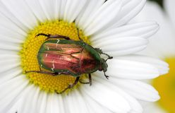 Bug on flower Royalty Free Stock Images