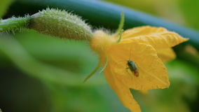 Bug on a flowering cucumber stock video footage