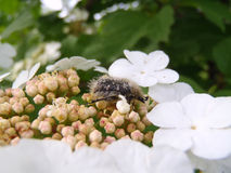 Bug on flowers of a guelder-rose Stock Images
