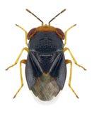 Bug Geocoris erythrocephalus stock images
