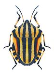Bug Graphosoma lineatum Stock Photos