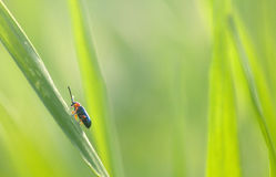 Bug in a grass Royalty Free Stock Photography
