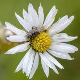 Bug. Grass bug Lygus gemellatus sitting on flower. Close up stock photo