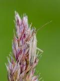 Bug. Grass bug Stenodema calcarata on a bent. Close up Stock Images