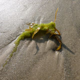 Is It A Bug?. Green and brown bug shaped seaweed on gulf coast ocean beach sand Royalty Free Stock Images