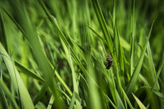 Bug on Green Grass Royalty Free Stock Photography