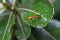 Bug on green. Bug hunting, its perch on flowers to lurk their prey royalty free stock image