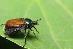 Bug on a green leaf. Macroshooting Royalty Free Stock Photography