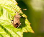 Bug bug on a green leaf in nature.  Royalty Free Stock Photography