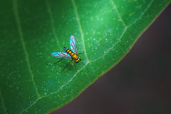 Bug on green leaf wallpaper style. Bug on green leaf in wallpaper style in macro mode Royalty Free Stock Photography