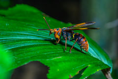 Bug on green leaves. Mantisfly mantispidae,  beautiful bug on leaves in forest Royalty Free Stock Photography