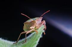 The bug the green tree shield Palomena prasina sits on the leaf Stock Photography