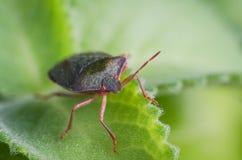 The bug the green tree shield Palomena prasina sits on the leaf Royalty Free Stock Photos