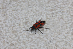 Bug insect red and black Stock Photos