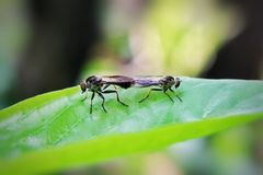Bug insects mating, on the leaf to reproduce.  Royalty Free Stock Images