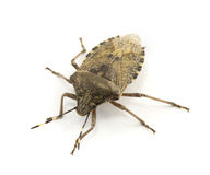Bug isolated Royalty Free Stock Photography