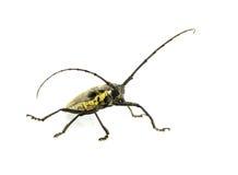 Bug isolated white background. Stock Photography