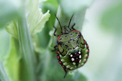 The bug. The juvenile bug gardens on the cabbage stock photos