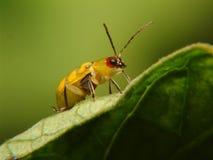Bug on leaf. Yellow bug on green leaf Stock Image