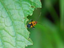 Bug on leaf Royalty Free Stock Image