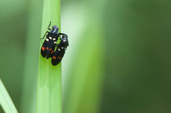 Bug on leaf. Two bug on green leaf of grass Royalty Free Stock Photography