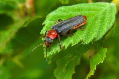 Bug on a leaf Royalty Free Stock Photography