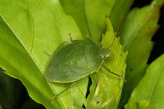 Bug on leaves. Bug on green leaves, Venezuela, Henri Pittier National Park Stock Images