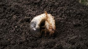 Bug maggot moving on ground, white grub in soil, insect metamorphosis, nature