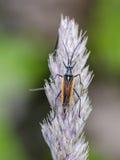 Bug. Meadow plant bug Leptopterna dolobrata on bent. Close up stock images