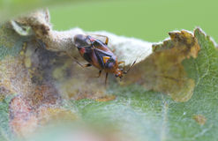 Bug (Miridae) Deraeocoris ruber . Royalty Free Stock Photos