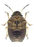 Bug Neottiglossa pusilla (underside) Stock Photo