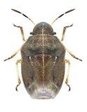 Bug Neottiglossa pusilla Royalty Free Stock Image