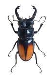 Bug Odontolabis Spectabilis Stock Photos