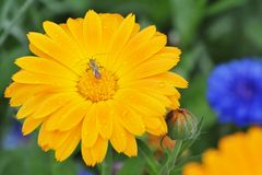 A bug on orange calendula flower with water drops. stock photo