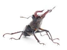 Bug (Oryctes Nasicornis) Stock Photography