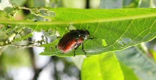 Free Bug Pest Eating Bush Leaf, Lithuania Stock Photography - 107579612
