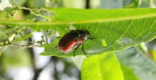 Bug pest eating bush leaf, Lithuania Stock Photography