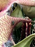 Bug on a petal of a Carrion Flower Stapelia Blossom Stock Images