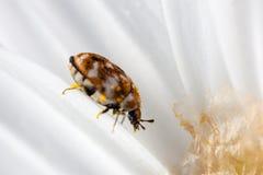 Bug on petals Stock Image