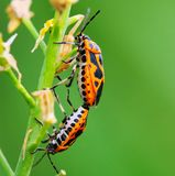 Bug on the plant. The bug on the plant with a green background Royalty Free Stock Images