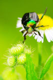 Bug on the plant. The bug on the plant with a green background Royalty Free Stock Photo