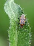 Bug. Plant bug Corizus hyoscyami on a leaf. Close up stock photos