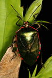 Bug on plants. Venezuela, Henri Pittier National Park Stock Image