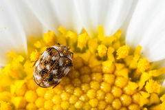 Bug and pollen Stock Photos