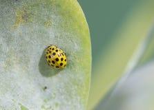 Bug Psyllobora vigintiduopunctata. FAMILY Coccinellidae (ladybirds Stock Image