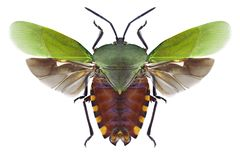 Bug Pycanum rubens stock images