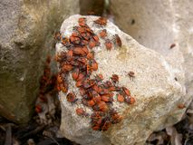 Bug pyrrhocoris apterus in group on stone stock photography