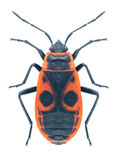 Bug Pyrrhocoris apterus Royalty Free Stock Photography