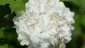 Bug rapidly climbs stock video footage