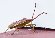 Bug on a red wall. Gonocerus acuteangulatus on a red brick wall Royalty Free Stock Photos